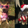 SHELTER SUNDAY: Meet Bella (pit bull mix) and Gracie (blue cream Persian)