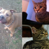 SHELTER SUNDAY: Meet Trini (pit bull) and Pebbles and Bam Bam (striped cats)
