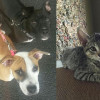 SHELTER SUNDAY: Meet Greyson and Revlon (pit bull puppy and hound mix) and Bella (gray tabby kitten)