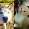 SHELTER SUNDAY: Meet Juliette (Siberian husky) and Peanut (orange tabby kitten)