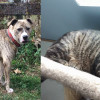 SHELTER SUNDAY: Meet Spanky (brindle pit bull) and Donald (tabby cat)