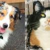 SHELTER SUNDAY: Meet Ozzie (Australian cattle dog) and Emma (calico cat)