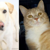 SHELTER SUNDAY: Meet Jasper (yellow lab/chow mix) and Chase (orange tabby cat)