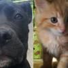 SHELTER SUNDAY: Meet Blue (pit bull mix) and Sir Lancelot (semi-long haired kitten)