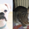 SHELTER SUNDAY: Meet Moose (boxer) and Bits (tabby cat)
