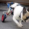 Blue Chip Farm raises over $4,000 for Bane, a paralyzed bulldog hoping to walk again