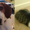 SHELTER SUNDAY: Meet Pete (Treeing Walker Coonhound) and Bella (tabby kitten)
