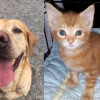 SHELTER SUNDAY: Meet Winston (English Lab) and Spice (orange tabby kitten)