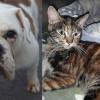 SHELTER SUNDAY: Meet Curry (English bulldog) and Autumn (calico/orange tabby mix)