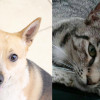 SHELTER SUNDAY: Meet Cal (Australian cattle dog mix) and Miss Lucky (striped tabby cat)