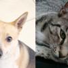 SHELTER SUNDAY: Meet Cal (Australian cattle dog mix) and Miss Lucky (striped tabby cat)