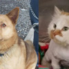 SHELTER SUNDAY: Meet Rojo (husky/cattle dog mix) and Mason (orange and white longhair cat)