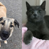SHELTER SUNDAY: Meet Axel (Anatolian shepherd) and Ralphie (Russian blue mix)