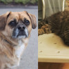 SHELTER SUNDAY: Meet Dexter (puggle) and Mia (Maine Coon mix)