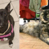 SHELTER SUNDAY: Meet Ellie (Boston terrier/pit bull mix) and Olivia (tortoiseshell cat)
