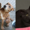 SHELTER SUNDAY: Meet Harlequin (Labrador) and Smokey (Russian blue)