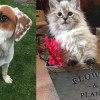 SHELTER SUNDAY: Meet Brie (beagle mix) and Priscilla and Anastasia (ragdoll kittens)