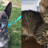 SHELTER SUNDAY: Meet Chloe (brindle shepherd mix) and Scarlett (striped tabby kitten)