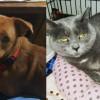 SHELTER SUNDAY: Meet Rusty (Chihuahua mix) and Sheba (British shorthair tabby)