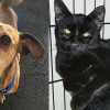 SHELTER SUNDAY: Meet Bacon (min pin mix) and Boo (black cat)