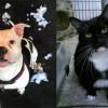 SHELTER SUNDAY: Meet Owen (American bulldog) and Mouse (tuxedo cat)