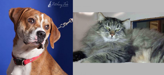 SHELTER SUNDAY: Meet Danny (bullmastiff mix) and Newton (Maine coon)