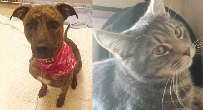 SHELTER SUNDAY: Maddie (pit bull mix) and Oliver (gray cat)