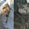 SHELTER SUNDAY: Meet Spanky (pit bull) and Noel (gray cat)