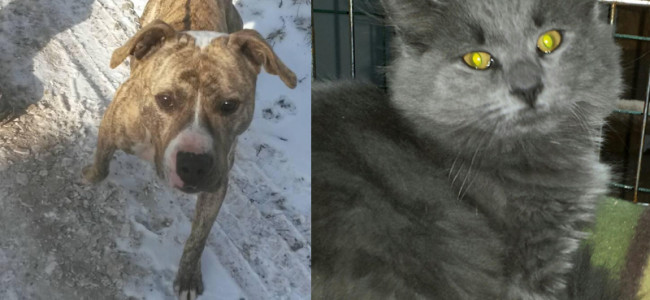 SHELTER SUNDAY: Meet Spanky (pit bull) and Noel (gray cat)