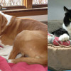 SHELTER SUNDAY: Meet Buddy (brown and white dog) and Tripod (tuxedo cat)