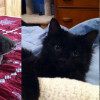 SHELTER SUNDAY: Meet Tommy (Lab mix) and Melody and Harmony (black cats)