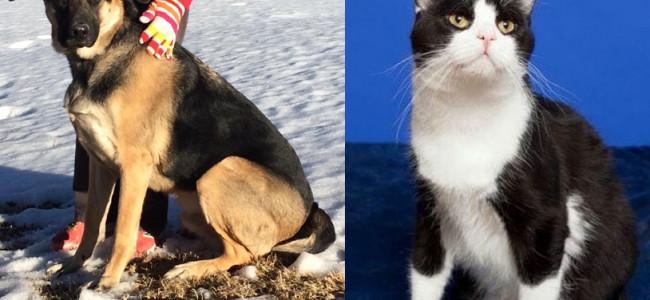 SHELTER SUNDAY: Meet Eli (Rottweiler/German shepherd mix) and Kip (tuxedo cat)