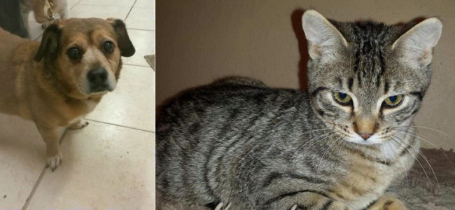 SHELTER SUNDAY: Meet Jada (corgi mix) and Dewey (tabby cat)