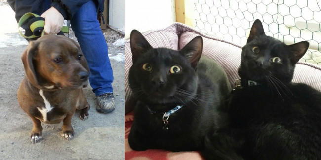 SHELTER SUNDAY: Meet Gracie (basset hound mix) and Knight and Coal (black cats)