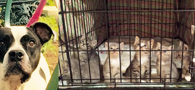 SHELTER SUNDAY: Meet Maxine (bulldog mix) and 7 tabby kittens