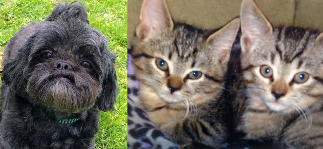 SHELTER SUNDAY: Meet Matilda (Shih Tzu) and Darcy and Dash (tabby kittens)