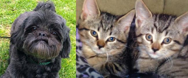 SHELTER SUNDAY: Meet Matilda (Shih Tzu) and Darcy and Dash (tabby kittens)
