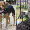 SHELTER SUNDAY: Meet Brutus and Bet (beagles) and Major (tabby kitten)