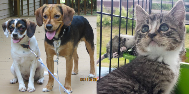 SHELTER SUNDAY: Meet Brutus and Bet (beagles) and Major (tabby kitten)