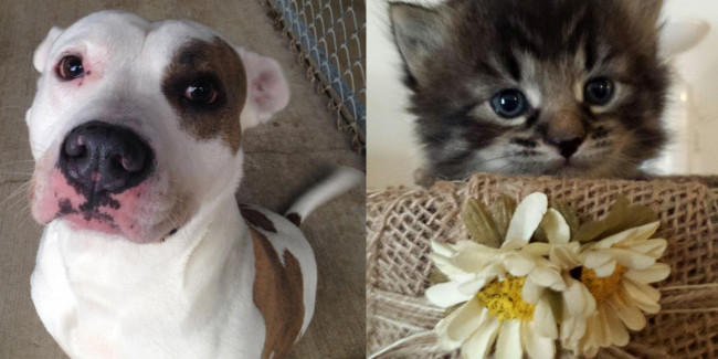 SHELTER SUNDAY: Meet Hund (pit bull terrier) and Roger (tabby kitten)