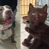 SHELTER SUNDAY: Meet Vanilla (pit bull terrier) and Batman (black kitten/crime-fighter)