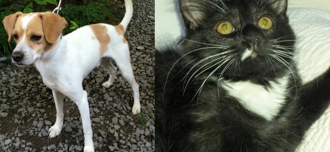 SHELTER SUNDAY: Meet Bagel (Jack Russell terrier) and Little White Paws (tuxedo kitten)