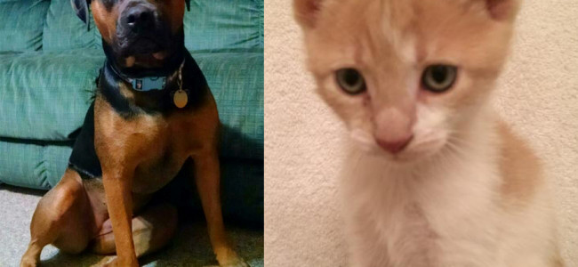SHELTER SUNDAY: Meet Jada (Rottweiler/boxer mix) and Ralphie (orange tabby kitten)