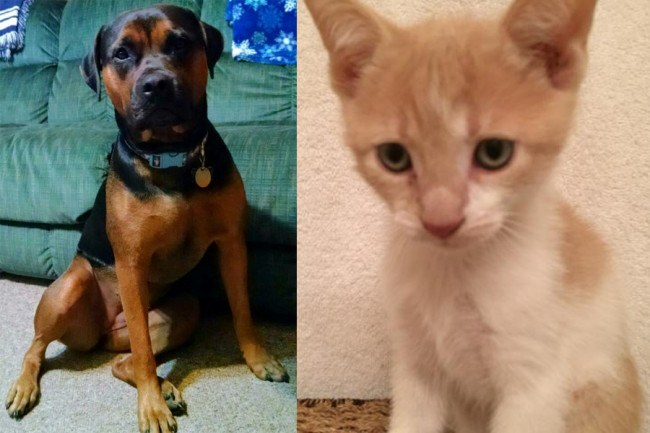 SHELTER SUNDAY: Meet Jada (Rottweiler/boxer mix) and Ralphie (orange tabby kitten)
