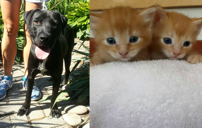 SHELTER SUNDAY: Meet Eddie (black Lab mix) and Butter Cream and Butter Rum (orange tabby kittens)