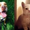 SHELTER SUNDAY: Meet Calvin (pit bull mix) and Ringo (orange tabby kitten)