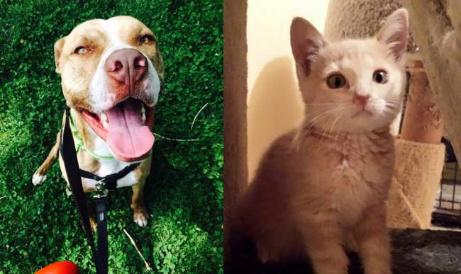 SHELTER SUNDAY: Meet Calvin (pit bull mix) and Ringo (orange tabby kitten)