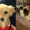 SHELTER SUNDAY: Meet Jersey (blonde Chihuahua) and Hope (tabby kitten)