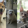 SHELTER SUNDAY: Meet Nikko and Duchess (chow mix and American Eskimo) and Blake (gray tabby kitten)