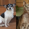 SHELTER SUNDAY: Meet Belle (Chihuahua) and Gypsy (Maltese cat)